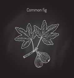 common fig branch vector image