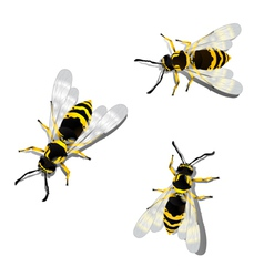 german wasps vector image