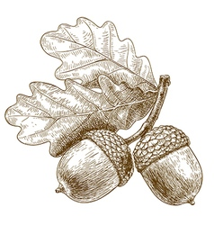 Engraving acorns vector