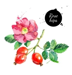 Hand drawn watercolor painting rosehips on white vector image vector image