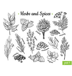 herbs and spices hand drawn vector image