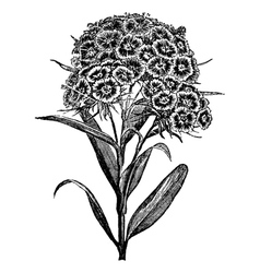 Carnation Sweet William engraving vector image vector image