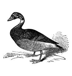 Brent goose vintage engraving vector