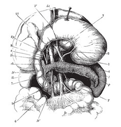 The stomach pancreas liver and duodenum vintage vector