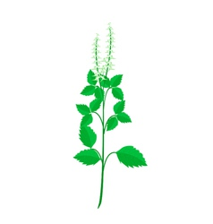 A fresh holy basil plant on white background vector