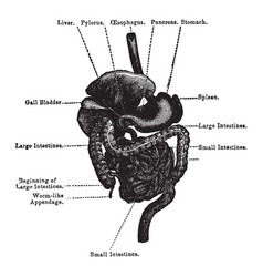 Organs of the digestive system vintage vector