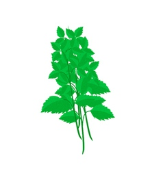 Fresh holy basil plants on white background vector