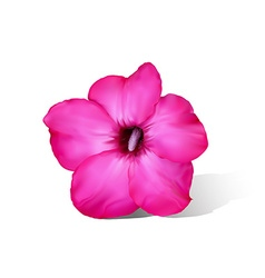 Desert rose flower on white vector