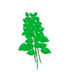 Fresh holy basil plants on white background vector