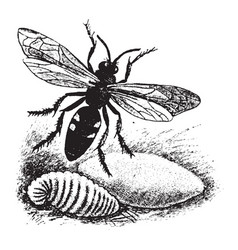 Digger wasp vintage vector