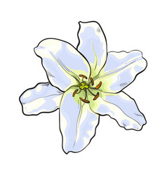 single hand drawn white lily flower top view vector image