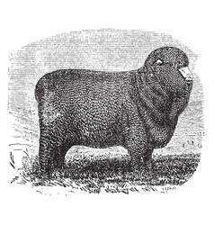 Spanish merino ewe vintage vector