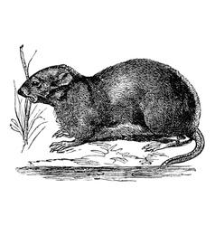 Muskrat vintage engraving vector image