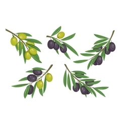 Agriculture olive branch with ripe and raw berries vector