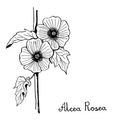 Alcea rosea hollyhocks flower botany vector