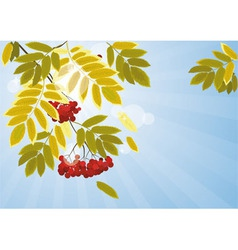 autumn leaves of mountain ash 00 vector image vector image