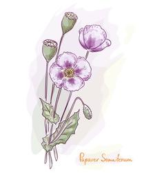 opium poppy vector image vector image