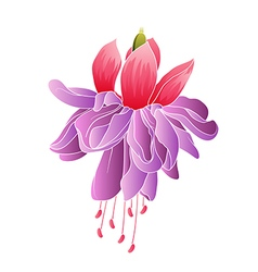 Fuchsia flower isolated vector