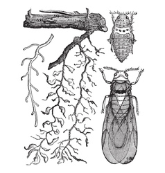 Root aphids vintage engraving vector
