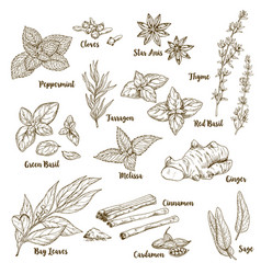 Set of hand drawn culinary aroma herbs and spices vector