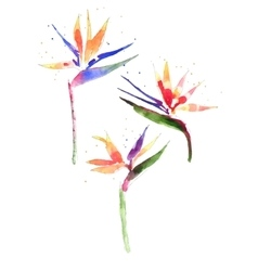 Watercolor strelitzia flower vector