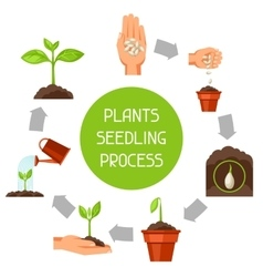 Seedling infographics with phases of plant growth vector