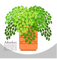Adiantum indoor plant in pot banner vector