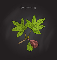 Common fig branch vector