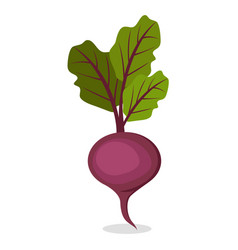 organic sweet beet from farm isolated vector image vector image