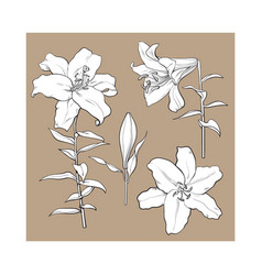Set of hand drawn white lily flowers side top vector