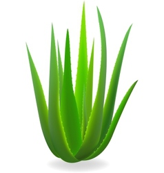 Aloe-vera element for design vector