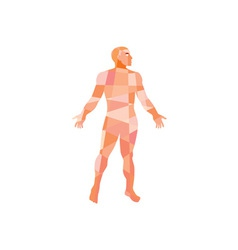Gross anatomy male isolated low polygon vector