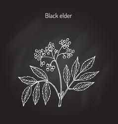 Black elder medicinal plant vector
