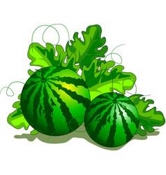 Watermelon on the plantation vector