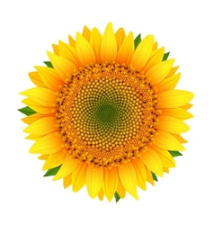 Sunflower isolated on white vector