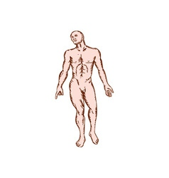 Gross anatomy male standing woodcut vector