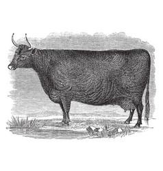 Devon cow vintage vector