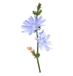 Chicory flower isolated vector
