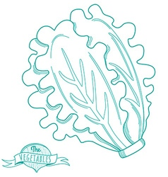Outline hand drawn sketch of lettuce flat style vector
