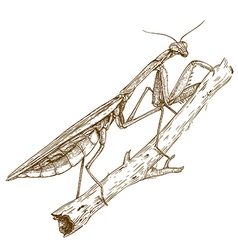 Engraving mantis vector