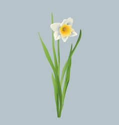 Daffodil flower vector