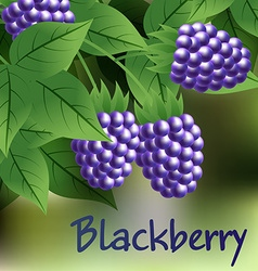 Black ripe sweet blackberry hanging on a branch vector