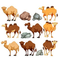 Camel in different poses vector