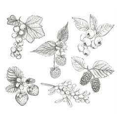 sketch berries set vector image vector image