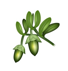 Jojoba fruits vector