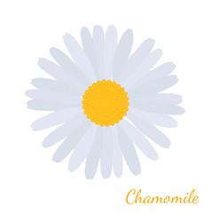 daisy chamomile herbal cosmetics plant vector image