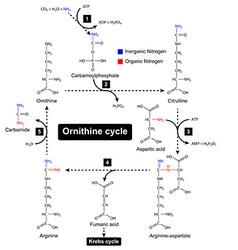 Ornithine cycle urea metabolic cycle vector