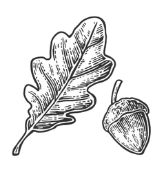 Oak leaf and acorn vintage engraved vector