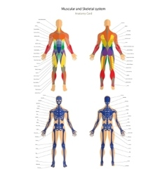 Anatomy guide Male skeleton and muscular system vector image