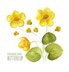 Buttercup perennial flower vector